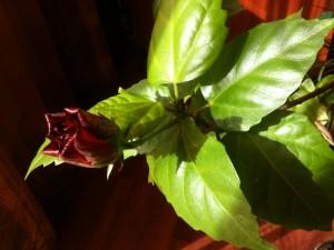 Trandafirul japonez inflorit