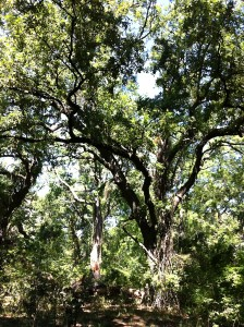 Arbori Padurea Letea
