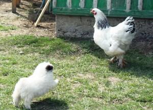Paste-In-Bucovina-37-Caine-De-Paza-Si-Gaina