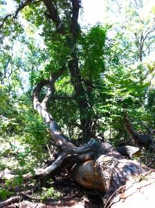 Copaci la pamant Padurea Letea